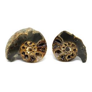 Ammonite Hoploscaphites Split Polished Fossil Montana 100 MYO w/label #16279 14o