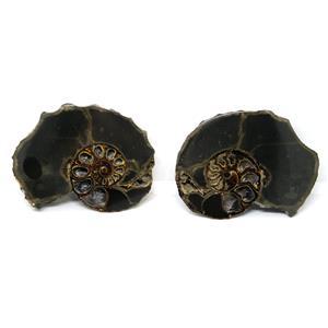 Ammonite Hoploscaphites Split Polished Fossil Montana 100 MYO w/label #16282 12o