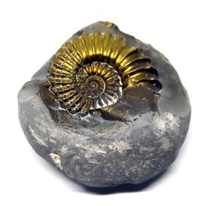 Ammonite Fossil Pleuroceras (Pyritized) Jurassic 185 MYO #16516 7o