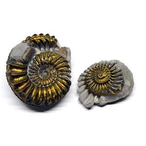 Ammonite Fossil Pleuroceras (Pyritized) Jurassic 185 MYO #16522 7o