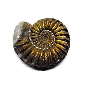 Ammonite Fossil Pleuroceras (Pyritized) Jurassic 185 MYO #16526 4o