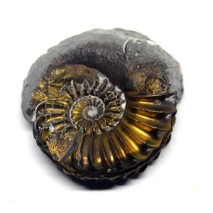 Ammonite Fossil Pleuroceras (Pyritized) Jurassic 185 MYO #16527 4o